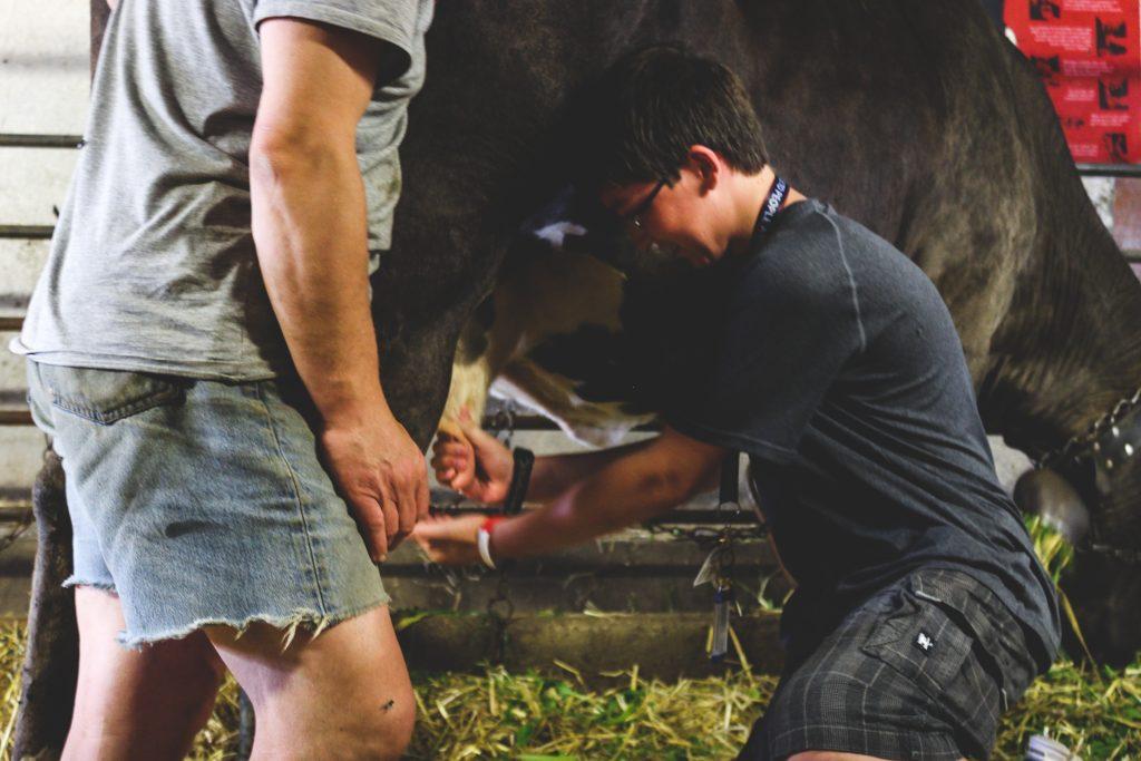 traite d'une vache en classe découverte
