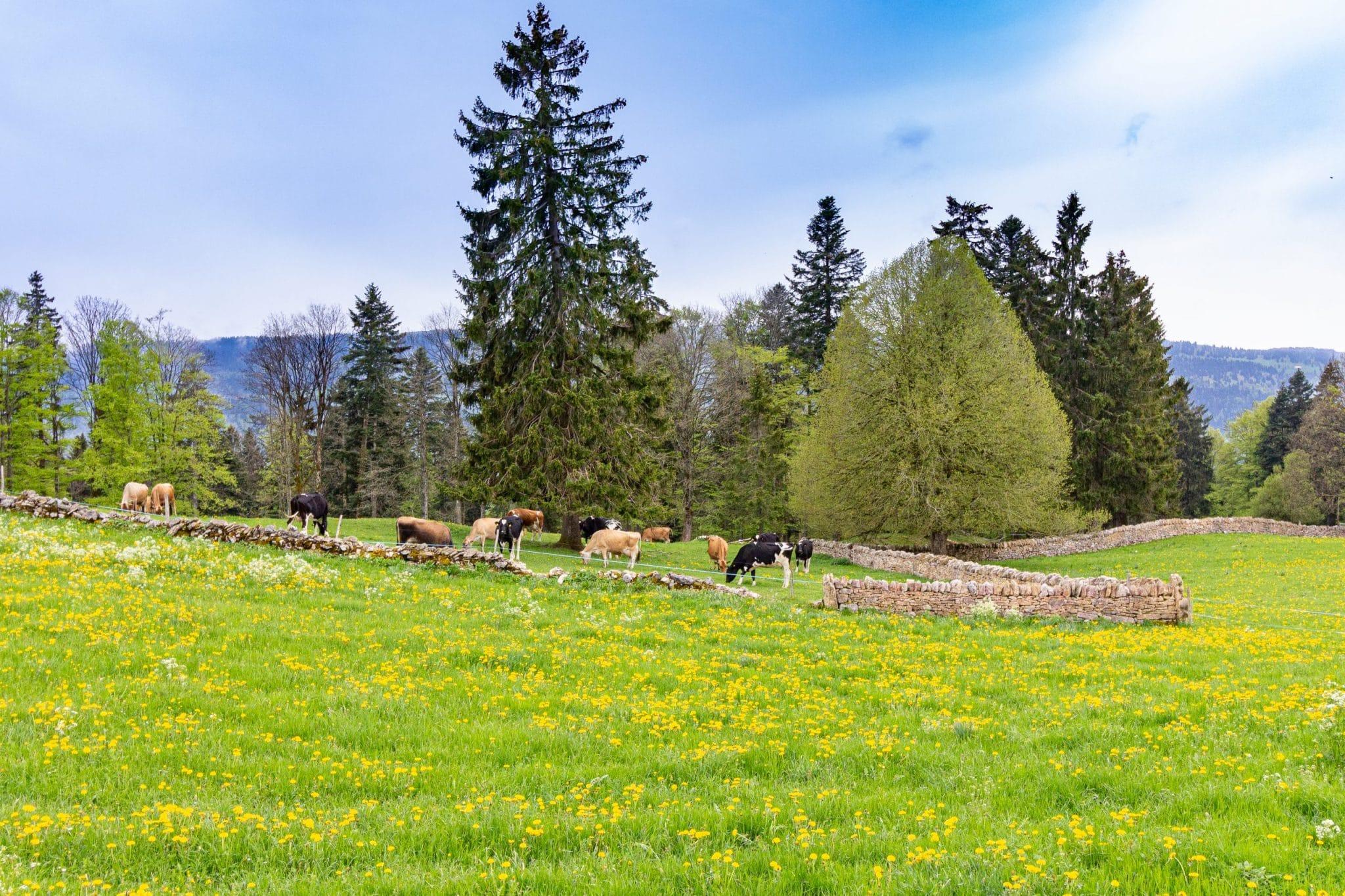paysage vaches jura