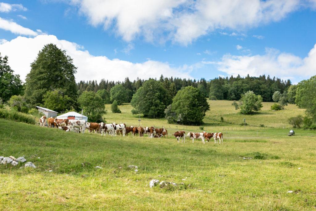 Vaches Alpages et yourtes Jura Otentik